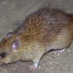 Contact our South Lake rodent control experts today!